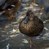 站立在一条腿的一只母野生野鸭鸭子在池塘边缘 图库摄影