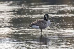 站立在一条腿的加拿大鹅在水中 免版税库存照片