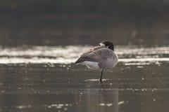 站立在一条腿的加拿大鹅在水中 免版税库存图片