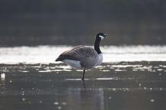 站立在一条腿的加拿大鹅在水中 库存图片