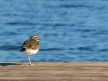 站立在一条腿的双胸斑沙鸟 免版税图库摄影
