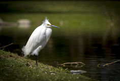 站立在一条腿的白色白鹭鸟有一坏头发天 库存图片