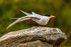 站立在一条腿(鸟瑜伽)的河燕鸥 免版税库存图片