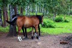 站立在一条道路的两匹成人马在森林 免版税库存图片