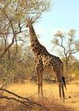 站立在一棵树旁边的充分的框架长颈鹿在万基 免版税库存照片