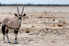 站立在一繁忙的waterhole的被隔绝的大羚羊羚羊属 免版税库存照片