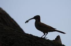 站立在与一只昆虫的一个树干的鸟的剪影在它的额嘴 免版税图库摄影