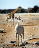 站立在与一头长颈鹿的非洲大草原的女性Kudu在背景中 免版税库存照片
