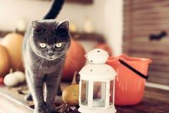 站立在与万圣夜主题的装饰的一张桌上的华美的灰色猫 免版税图库摄影
