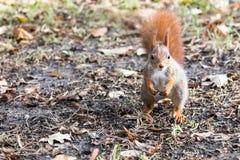 站立在与下落的叶子的地面的好奇幼小灰鼠 图库摄影