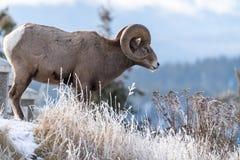 站立在与冷淡的冬天草的峭壁边缘的Ram公大角野绵羊 免版税库存照片