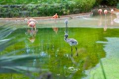 站立在与反射的水中的桃红色火鸟 免版税图库摄影