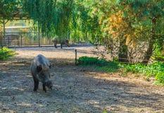 站立在与另一个野公猪的自然风景场面的一个野公猪的动物画象在背景中 库存图片