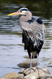 站立在与吹它的羽毛的风的一个岩石的一个伟大蓝色的苍鹭的巢 免版税库存图片