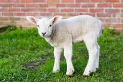站立在与墙壁的绿草的一只白色新出生的羊羔 库存照片