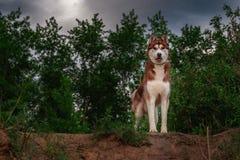 站立在与多云天空和树的峭壁顶部的多壳的狗在背景中 走与西伯利亚爱斯基摩人的概念在雨中 免版税库存照片