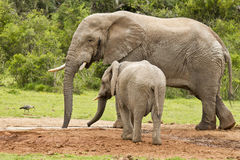 站立在与它的年轻人的一个水坑的非洲大象男性 图库摄影