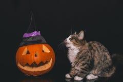 站立在与巫婆帽子的一个被雕刻的南瓜旁边的平纹和白色猫 免版税库存照片