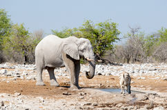 站立在与斑马的一waterhole的一头孤立大象 免版税库存照片