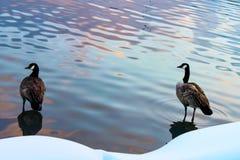 站立在与日落的反射的水中的两只鸭子在多雪的岸旁边的 库存图片