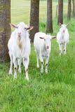 站立在与树干的草的三只白色山羊 库存照片