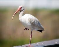 站立在与桃红色比尔和蓝眼睛的一只脚的白色朱鹭 免版税库存照片