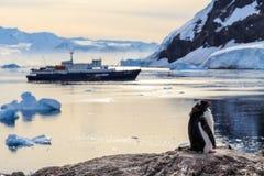 站立在与游轮的岩石的懒惰Gentoo企鹅小鸡 免版税库存照片