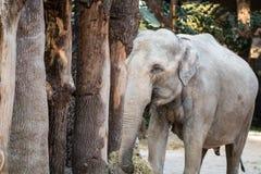 站立在与秸杆的树前面的大,灰色动物在它的tr 免版税库存图片