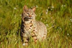 站立在与花的一棵草的美洲野猫 免版税库存图片