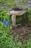 站立在与青苔和植物的蓝色花群的旁边伞菌蘑菇 免版税库存照片