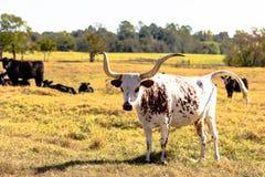 站立在与黑牛的领域的长角牛 免版税图库摄影