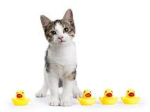 站立在与黄色橡胶鸭子的白色背景的欧洲shorthair猫画象 图库摄影