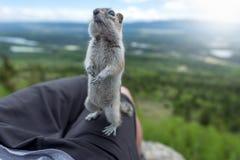站立在人湖的花栗鼠 图库摄影