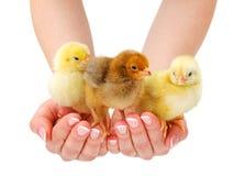 站立在人的手上的三只新出生的鸡 免版税库存图片
