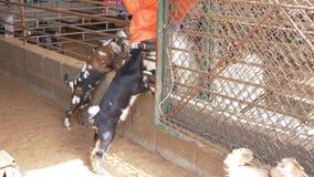 站立在他们后腿和使用的对幼小山羊 股票录像