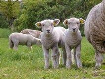 站立在他们的在一个绿色牧场地的母亲绵羊旁边的两只逗人喜爱的小的羊羔 免版税库存照片