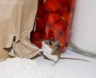 站立在他的在溢出白面的一个被剥去的和被弄皱的纸袋子前面的腰臀部分的一只野生棕色家鼠 图库摄影
