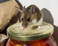 站立在他的腰臀部分的一只野生棕色家鼠在一个瓶子食物顶部在餐具室 免版税库存照片