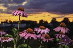 站立在休息上的一朵桃红色花在日落 免版税库存图片