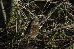 站立在低分支的篱雀之类的鸟4 库存照片