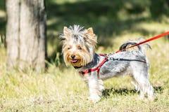 站立在公园树旁边的一条小约克夏狗狗晴朗的夏日 免版税图库摄影