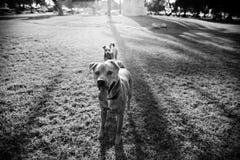 二条狗在公园 免版税图库摄影