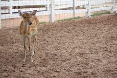 站立在农场的布朗chital鹿 库存图片