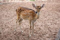 站立在农场的布朗chital鹿 免版税库存图片