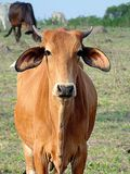 站立在农场的红色母牛 库存照片