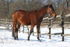 站立在冬天畜栏农村场面的纯血统马 免版税库存图片