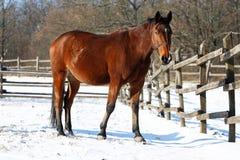 站立在冬天畜栏的驯马 免版税图库摄影