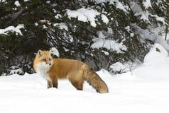 站立在冬天雪的一只镍耐热铜狐狸狐狸在阿尔根金族公园 免版税图库摄影