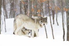 站立在冬天雪的北美灰狼天狼犬座 库存图片