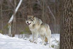 站立在冬天雪的北美灰狼天狼犬座 免版税库存图片